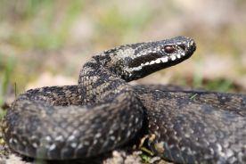 Będzie przełom w leczeniu ukąszonych przez węże?