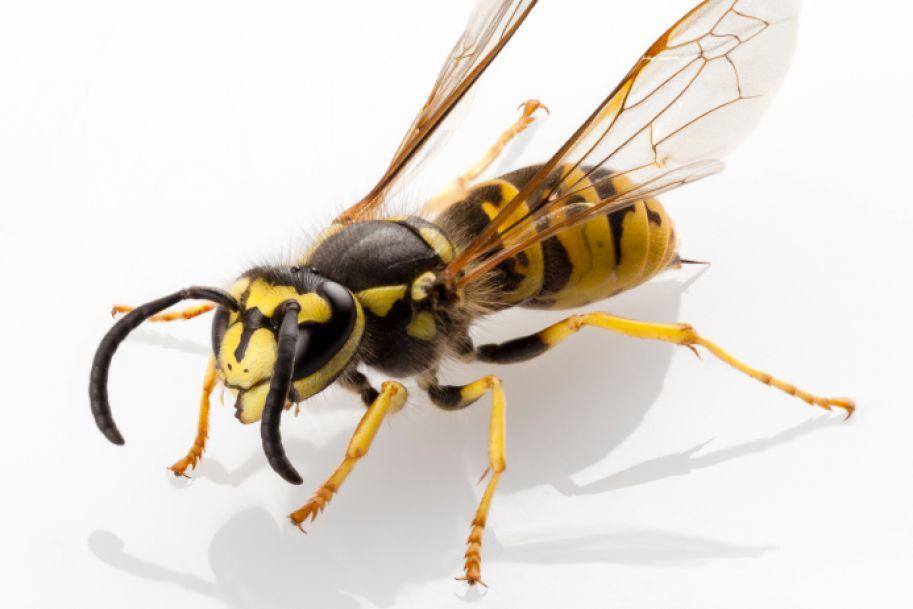 Alergia na jady owadów błonkoskrzydłych - kogo odczulać?