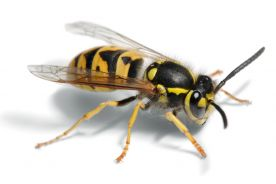 Jad pszczeli zwalcza komórki raka piersi