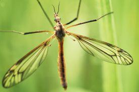 Odporność na dengę chroni przed ziką
