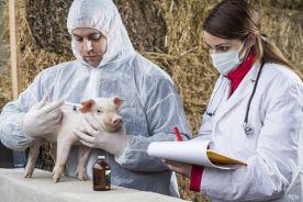 Przeszczep świńskiego serca człowiekowi już za trzy lata?