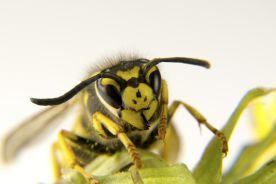 Co nowego w alergii na jady owadów błonkoskrzydłych?