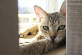 Wściekły kot (Z pamiętnika wiejskiego lekarza)