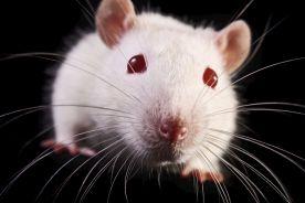 Mysz poczęta przez dwie samice