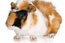 Znaczenie wybranych alergenów zwierząt domowych w rozwoju chorób alergicznych (świnka morska, królik, fretka, szynszyla, myszoskoczek)