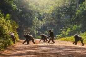 Zaobserwowano szympansy zakażone trądem