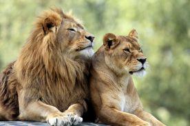 Lwy w barcelońskim ZOO zachorowały na Covid-19