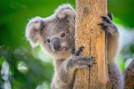 Australijski dentysta stworzył protezę dla koali urodzonego bez stopy